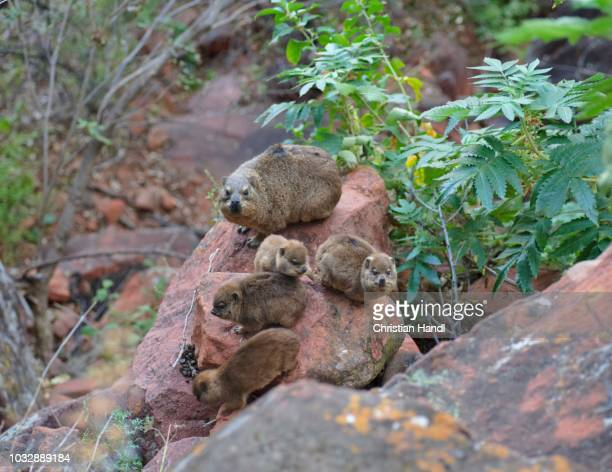 Rock Hyrax (Procavia capensis) with young animals in the Waterberg National Park, Namibia
