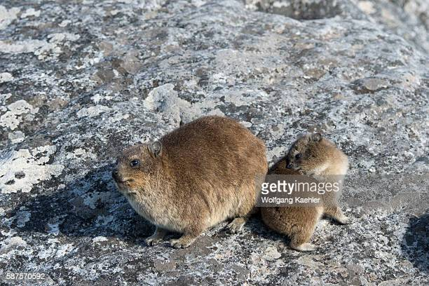 Rock hyraxes or dassies warming up in the morning sunshine on top of Table Mountain in Cape Town South Africa