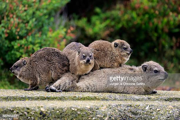Rock Hyraxes -Procavia capensis- adult female with three young, social behavior, Bettys Bay, Western Cape, South Africa