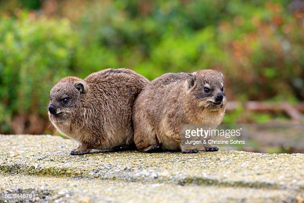 Rock Hyraxes -Procavia capensis-, two young, Bettys Bay, Western Cape, South Africa