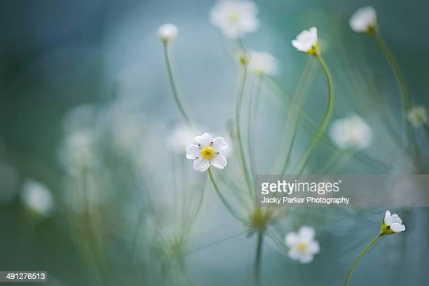 Rock Jasmine white flowers