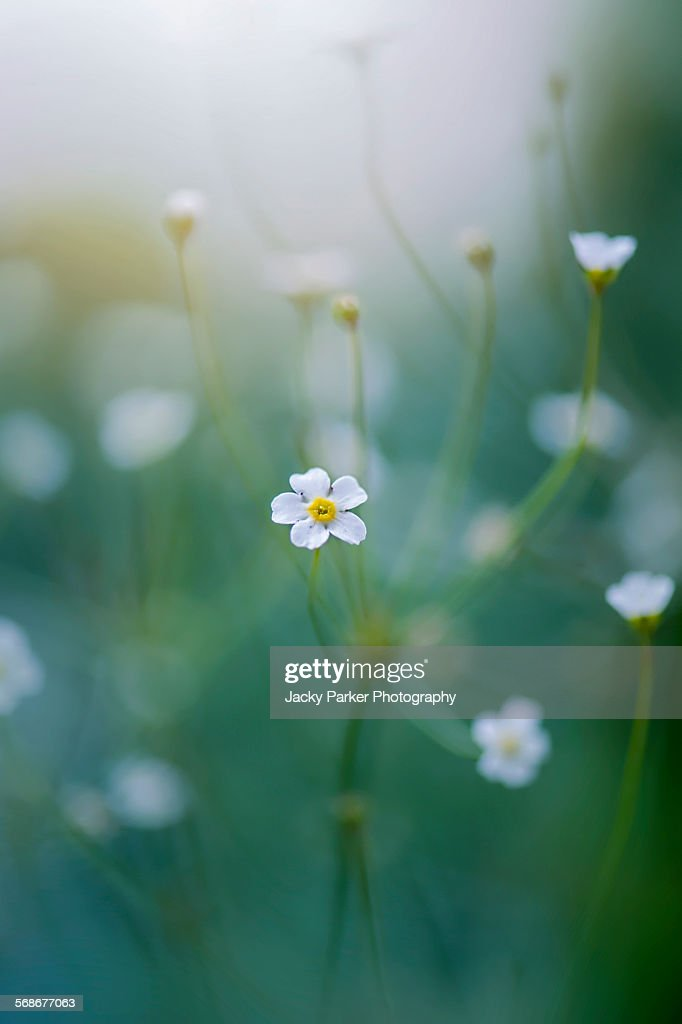 Rock jasmine white flowers : Stock Photo