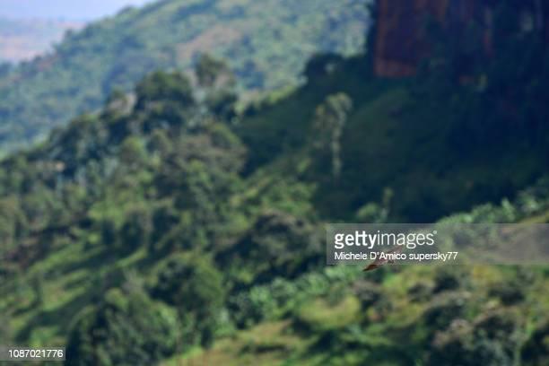 Rock martin (Ptyonoprogne fuligula) flying over a green valley