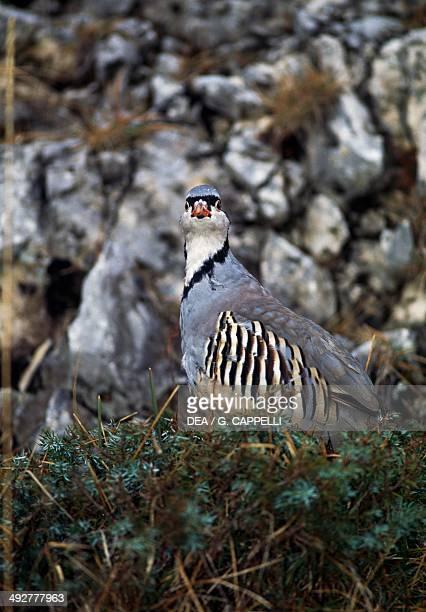 Rock partridge Phasianidae
