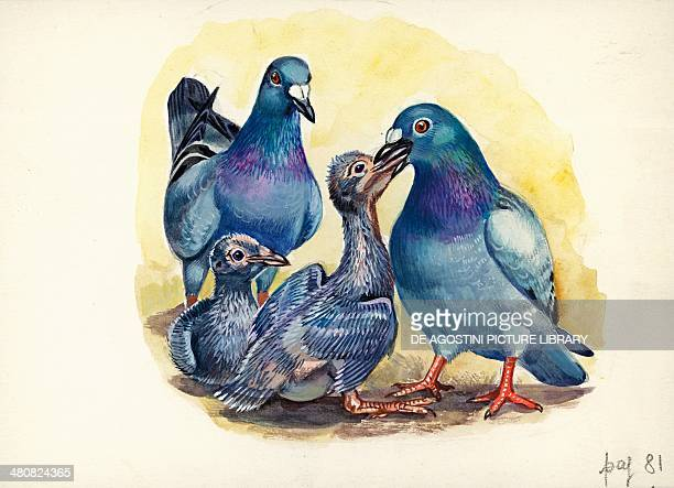 Rock pigeon feeding young illustration