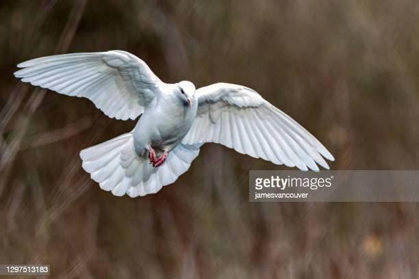 rock pigeon flying at lakeside