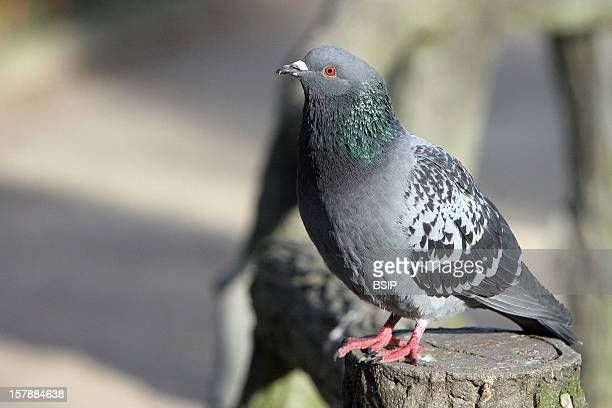 Rock Pigeon Rock Pigeon Picardy FranceColumba Livia Rock Pigeon Pigeon Columbid Bird