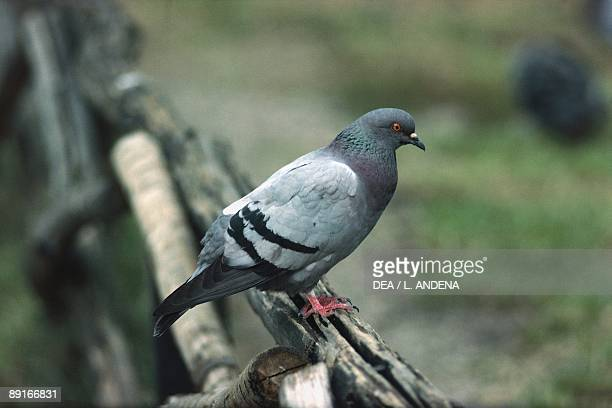Rock pigeon sitting on fence