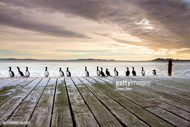Rock Shags (Phalacrocorax magellanicus) sitting on jetty