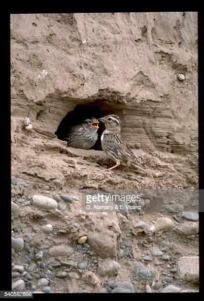 Rock Sparrows