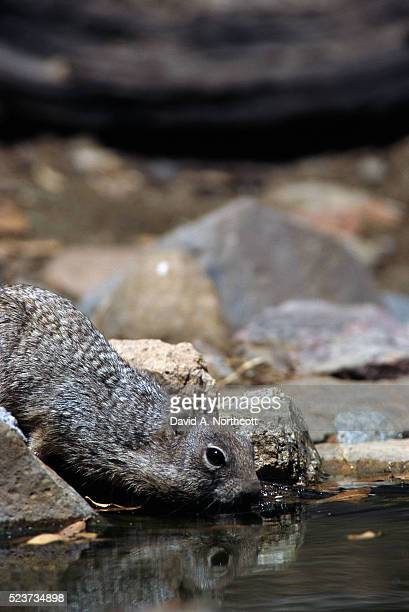 Rock Squirrel Drinking from Stream