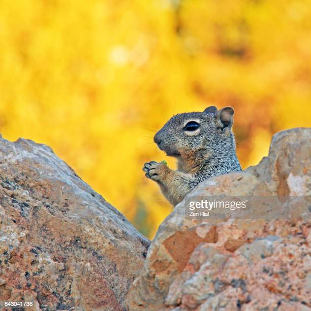A Rock Squirrel (Otospermophilus variegatus) eating with sunrise colors in the background