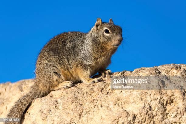 Rock squirrel (otospermophilus variegatus), on rock, South Rim, Grand Canyon National Park, Arizona, USA