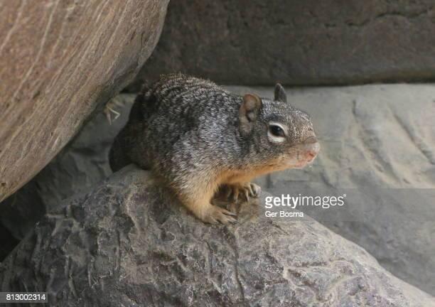 Rock Squirrel (Otospermophilus variegatus)