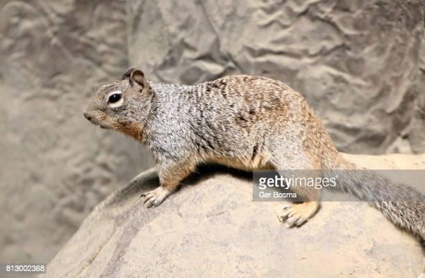 Rock Squirrel (Spermophilus variegatus)