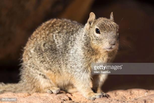 Rock squirrel (otospermophilus variegatus), South Rim, Grand Canyon National Park, Arizona, USA