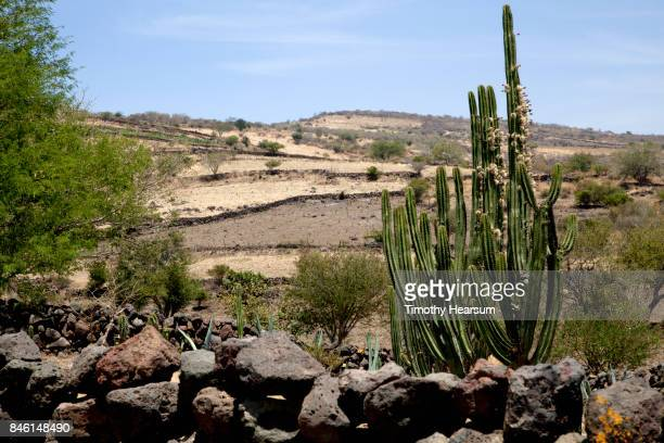 rock wall, tree cactus in foreground; rows of young cacti on terraced hillside beyond - timothy hearsum imagens e fotografias de stock