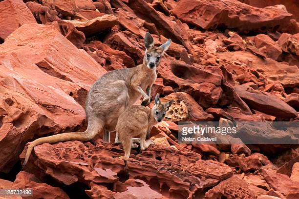 Rock wallabies at Rainbow Valley