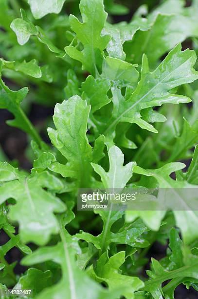 rucola-salat. - wildpflanze stock-fotos und bilder