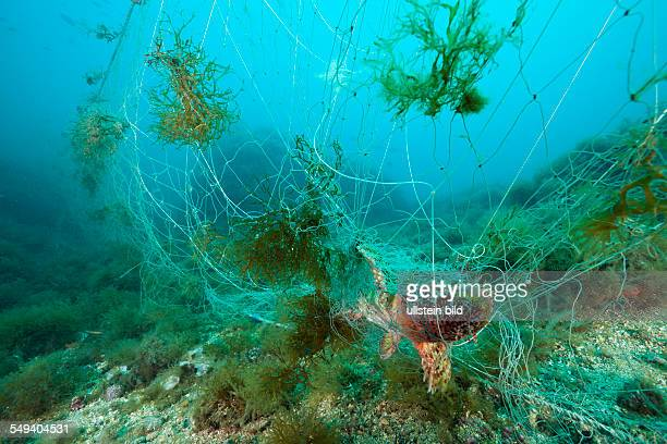 Rockfish trapped in lost Fishing Net Scorpaena scrofa Cap de Creus Costa Brava Spain