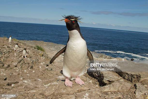 rockhopper penguin at colony on bleaker island, falklands - rockhopper penguin stock pictures, royalty-free photos & images