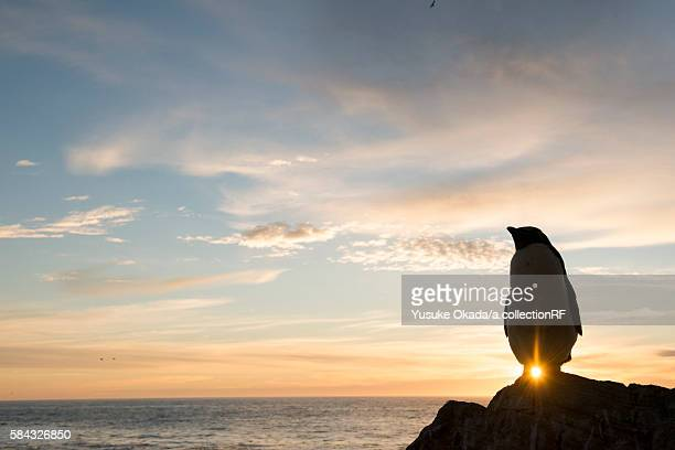 rockhopper penguin at sunset - rockhopper penguin stock pictures, royalty-free photos & images