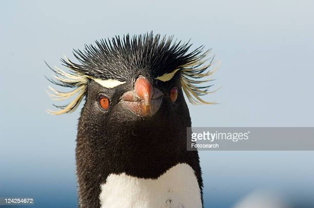 rockhopper penguin (eudyptes crestatus). bleaker island, falkland islands - rockhopper penguin stock pictures, royalty-free photos & images