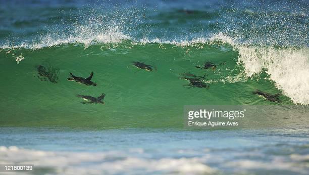 Rockhopper Penguin, Eudyptes chrysocome, surfing the swell, Falkland Islands