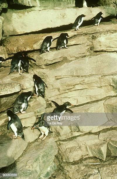 rockhopper penguin, eudyptes crestatus, on path to rookery, falklands
