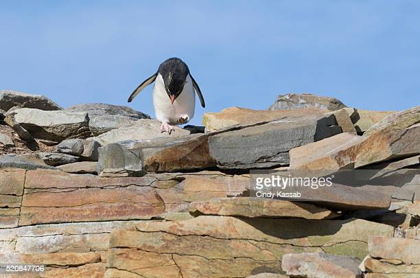 rockhopper penguin getting ready to jump - rockhopper penguin stock pictures, royalty-free photos & images