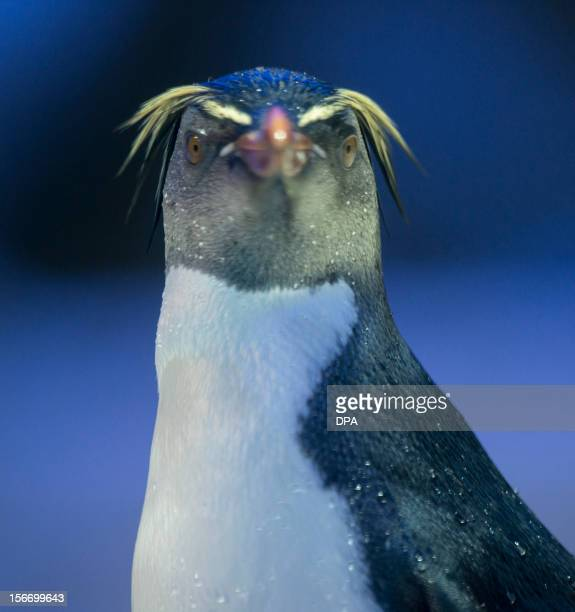 A rockhopper penguin is pictured on November 19 2012 in Tierpark in Munich southern Germany AFP PHOTO/ Marc Müller/ GERMANY OUT