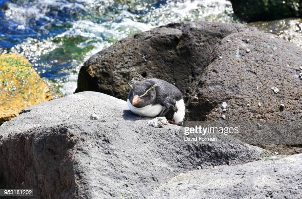 rock-hopper penguin near 'edinburgh of the seven seas' port, tristan da cunha. - tristan da cunha eiland stockfoto's en -beelden