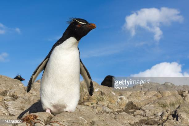 Rockhopper penguin , Pebble Island, Falkland Islands.
