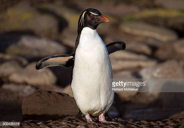 rockhopper penguin posing with flippers raised. - rockhopper penguin stock pictures, royalty-free photos & images