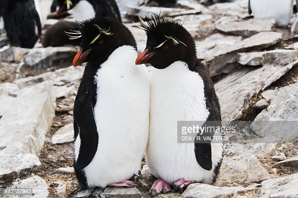 Rockhopper penguin Spheniscidae Rockhopper Point south coast of Sea Lion Island Falkland or Malvinas Islands