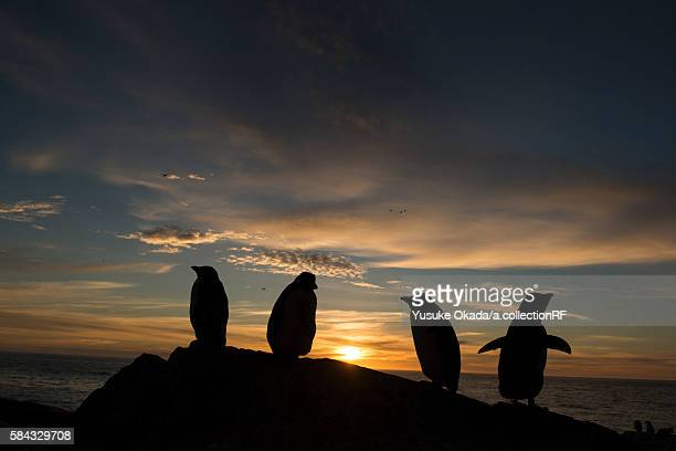 rockhopper penguins at sunset - rockhopper penguin stock pictures, royalty-free photos & images