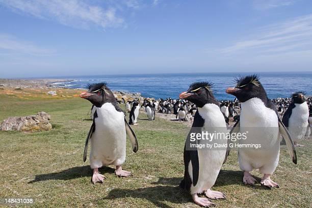 Rockhopper Penguins Colony