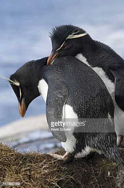 Rockhopper Penguins (Eudyptes chrysocome). Courting pair. Falkland Islands