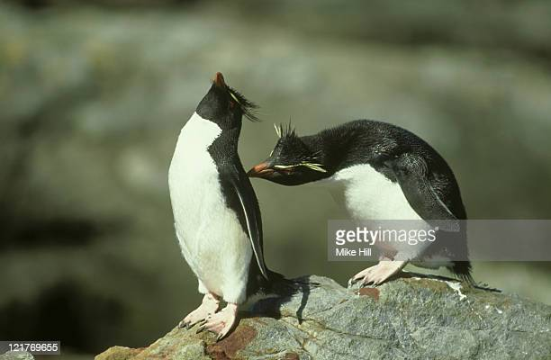 rockhopper penguins: eudyptes crestatus  falkland islands      - rockhopper penguin stock pictures, royalty-free photos & images