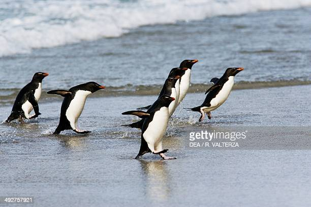 Rockhopper penguins getting out of the water , Spheniscidae, The Neck, north coast of Saunders Island, Falkland or Malvinas Islands .