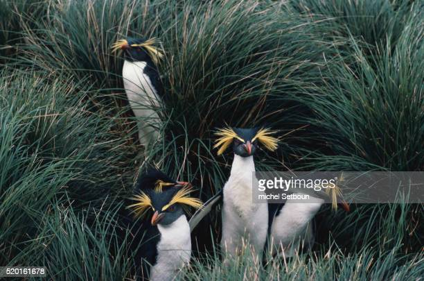 rockhopper penguins in grass - rockhopper penguin stock pictures, royalty-free photos & images