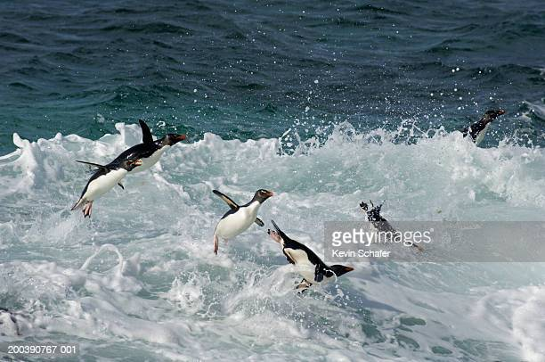 Rockhopper Penguins (Eudyptes chrysocome) jumping in water