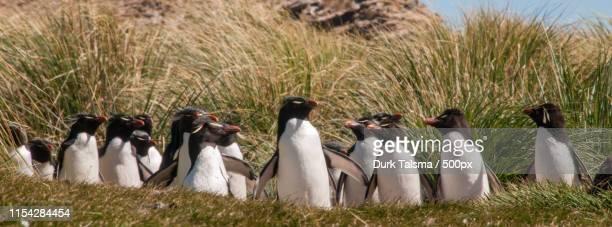 rockhopper penguins on westpoint island - cliff saunders stockfoto's en -beelden