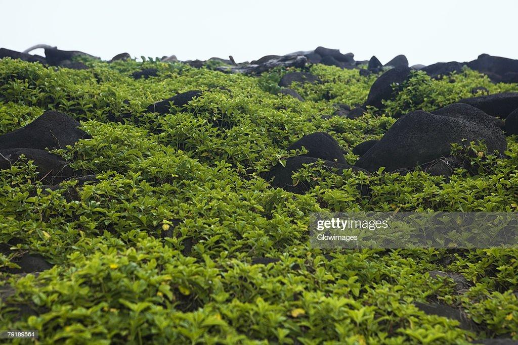 Rocks at a hillside, Pololu Valley, Big Island, Hawaii Islands, USA : Foto de stock