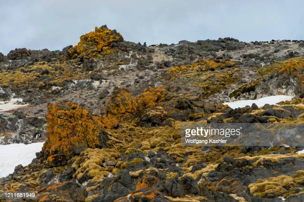Rocks below penguin colony covered with grasses, lichens and mosses at the Polish research station Henryk Arctowski in Admiralty Bay on King George...