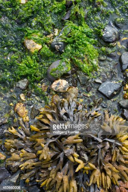 Rockweed exposed on beach at low tide at Idaho Inlet on Chichagof Island Tongass National Forest Alaska USA