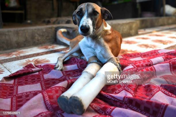 Rocky, a female dog who lost her front legs in a train accident, rests at the People For Animals Trust in Faridabad on November 17, 2020. - An Indian...