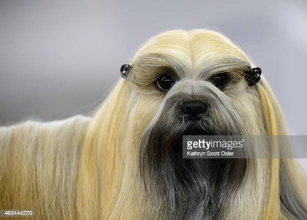 Rocky a Lhasa Apsos waits for his turn to enter the show ring The Colorado Kennel Club hosts The Rocky Mountain Cluster dog show at the National...