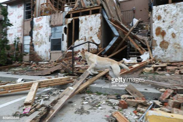 Rocky from the Texas Task Force 2 search and rescue team works through a destroyed apartment complex trying to find anyone that still may be in the...