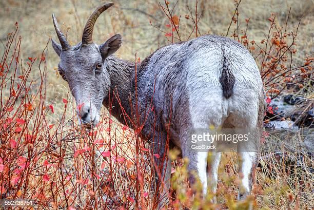 Rocky Mountain bighorn sheep, foraging